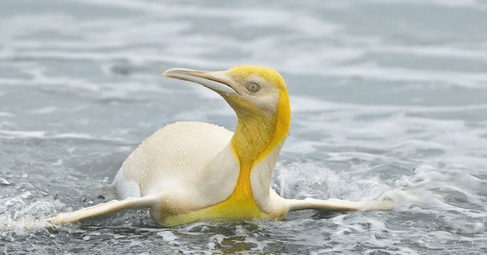 Belgian photographer managed to capture an amazing yellow penguin