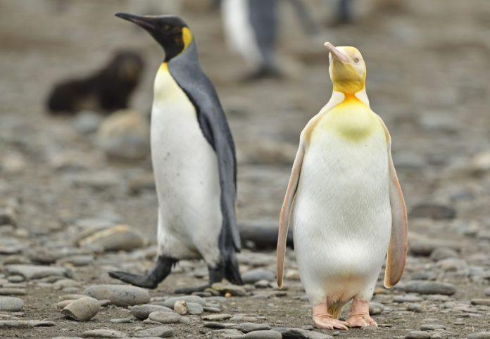 amazing yellow penguin