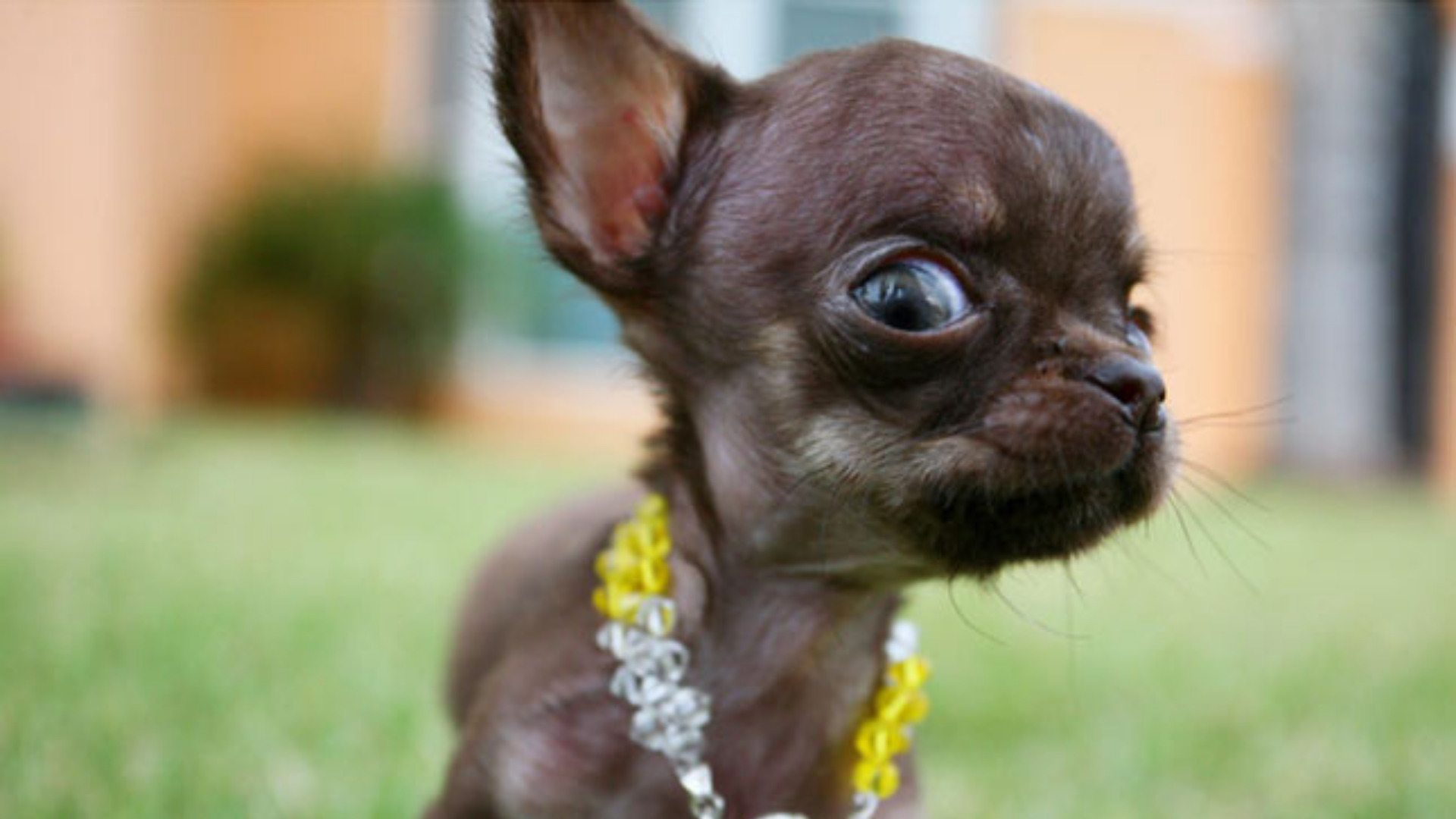 The smallest dog in the world