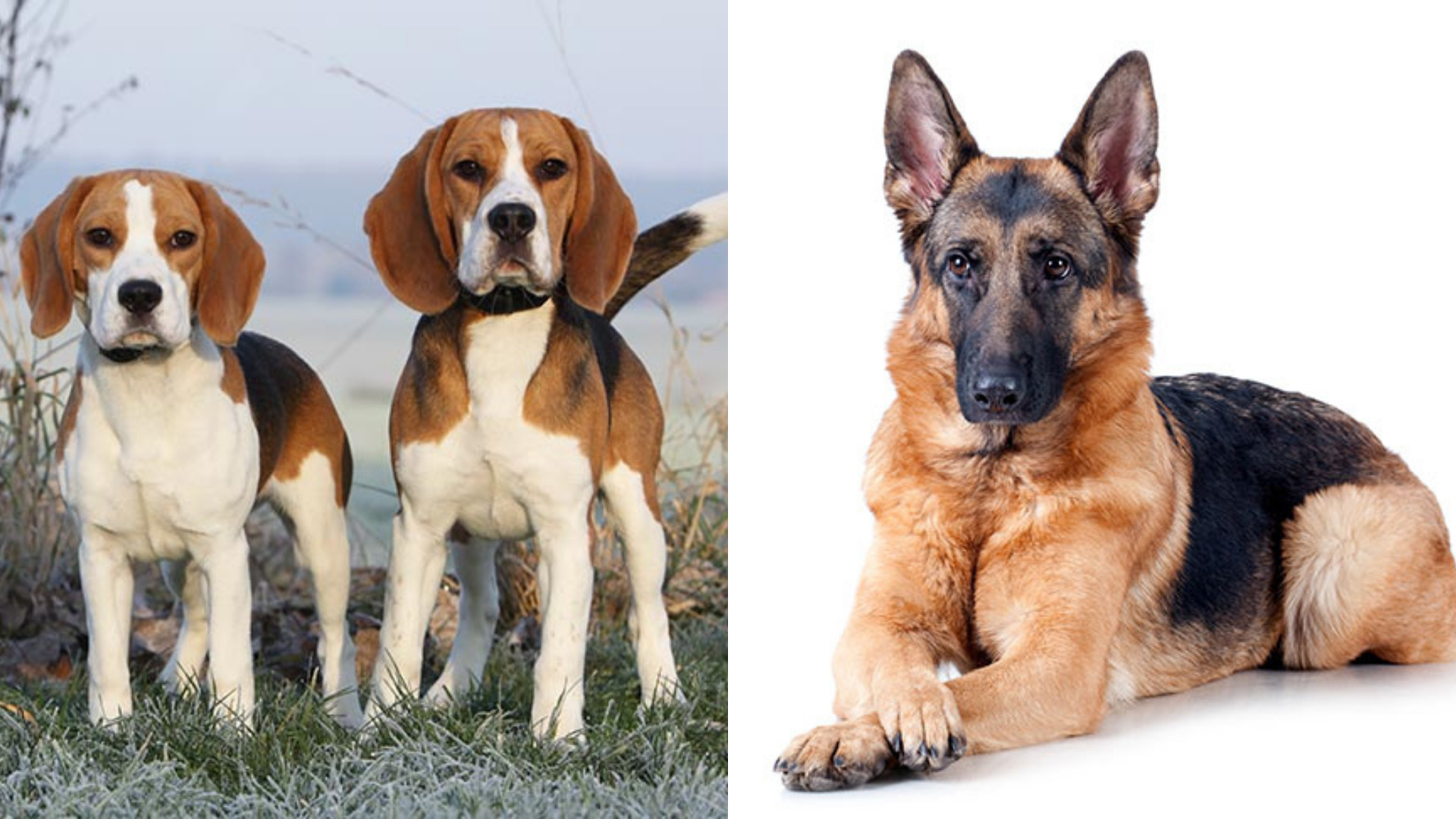 Dog breeds – 10 dog breeds that you'd like to have as a pet