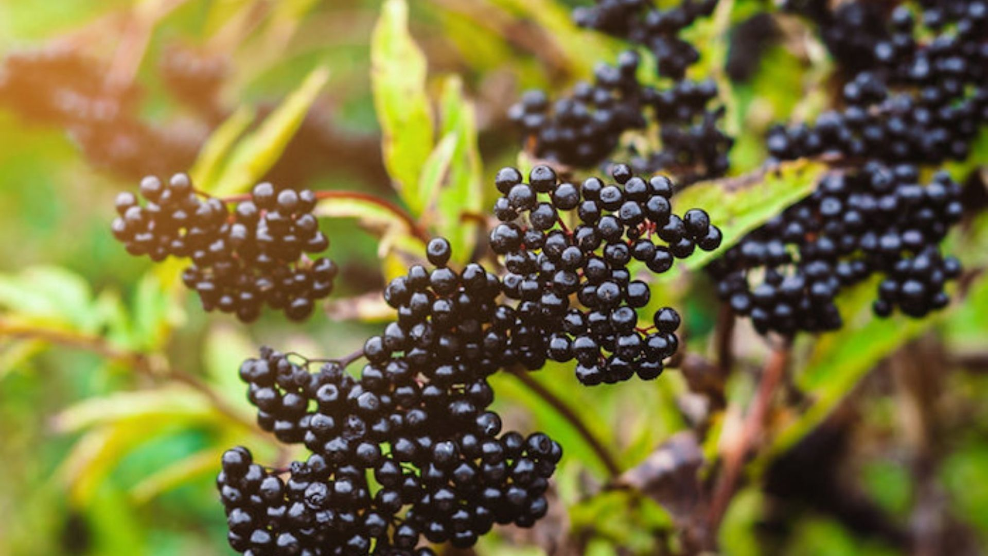 Studies showed that Elderberries block the flu virus from attaching to and entering human cells