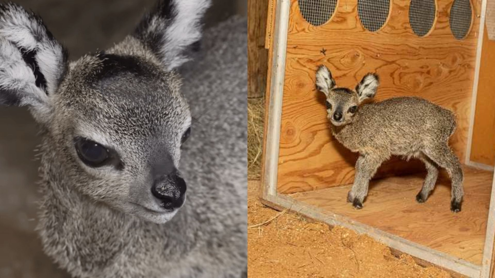 Cute Baby Klipspringer Birth Celebrated in A Florida Zoo